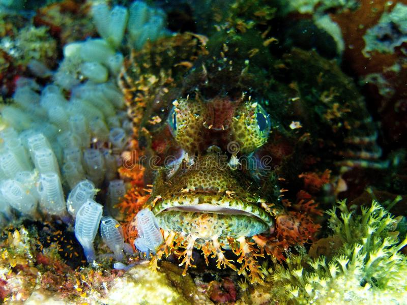 Giftig skorpionfisk arkivbild