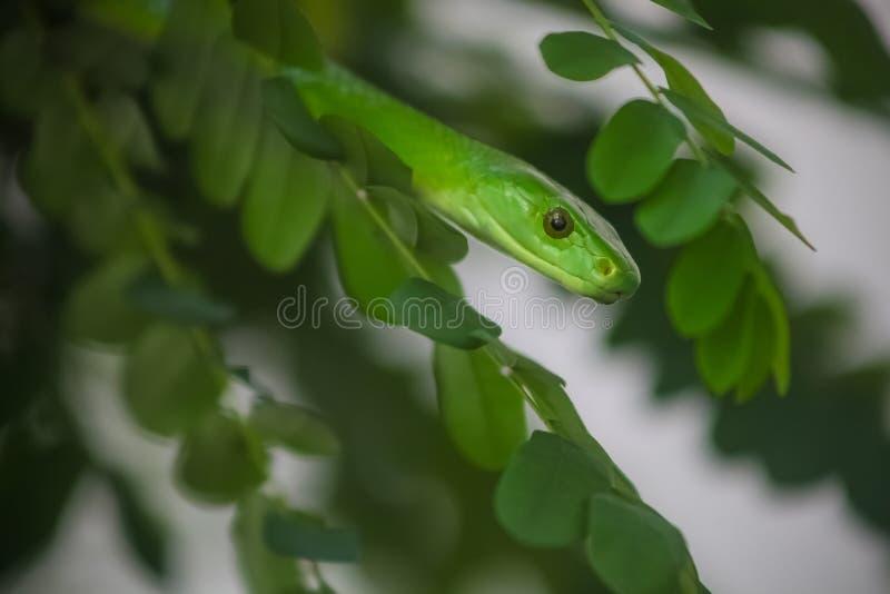 Giftig trädorm för grön Mamba arkivfoto