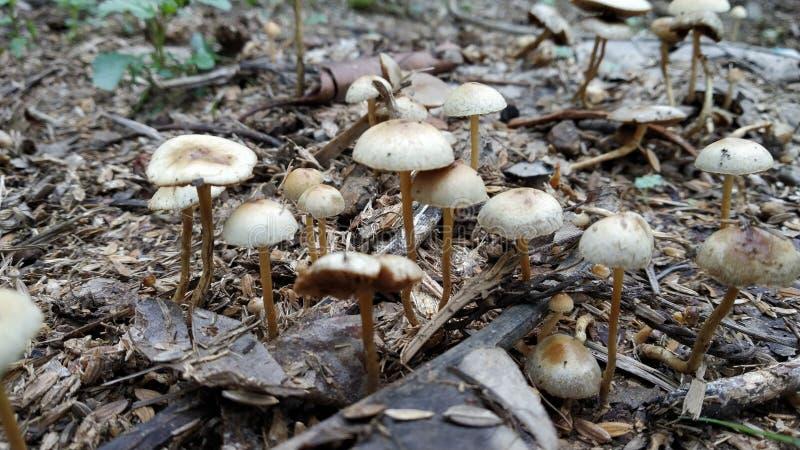 Giftiga champinjoner som ut kommer efter första regn i indisk skog royaltyfri fotografi