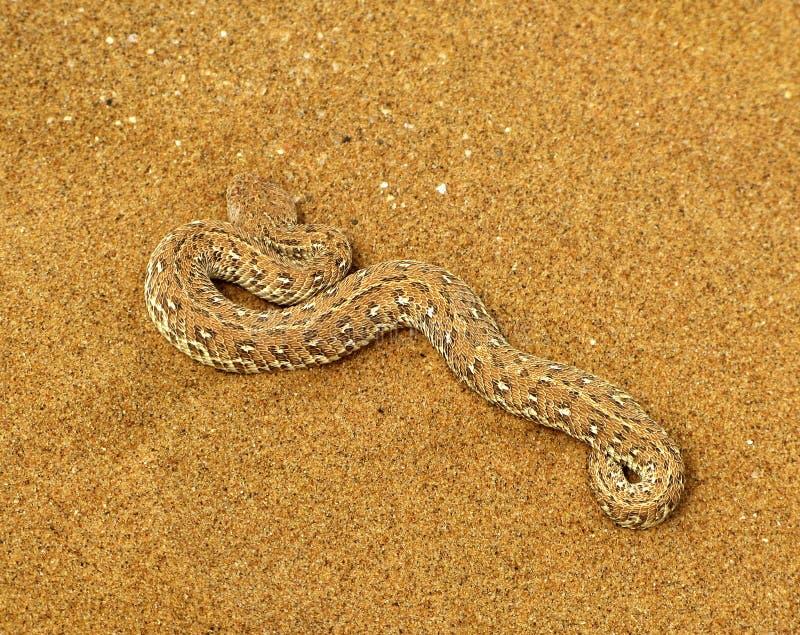 Giftiga Peringueys huggorm eller sidewinding huggormorm (Bitisperingueyi) på orange namibian sand av den Namib öknen i Namibia arkivbilder