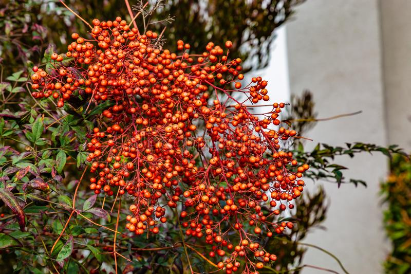 Giftige Beere Rotglühenheckenpflanze lizenzfreies stockbild