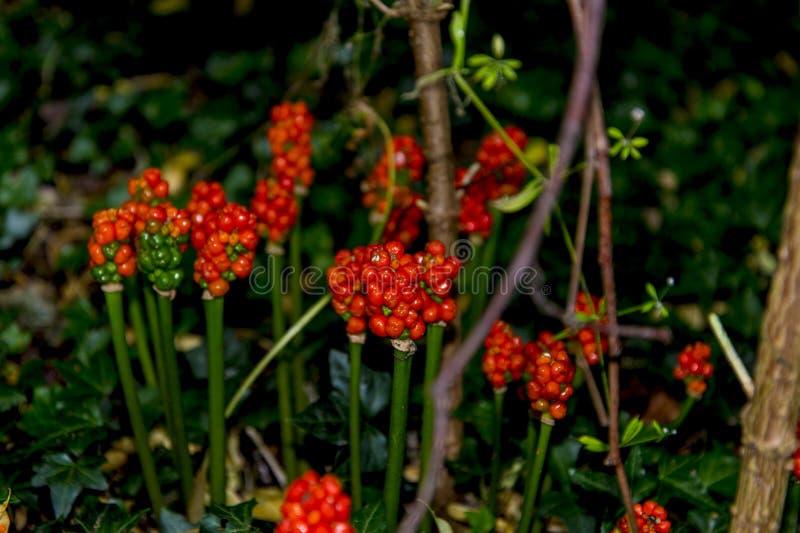 Giftige Frucht des Aronstabs Lily Plant bei Adlington Hall Gardens in Cheshire lizenzfreie stockfotos