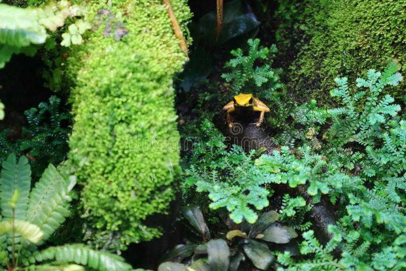Giftige Gouden terribilis van kikkerphyllobates in het vochtige groene gebladerte van het bos royalty-vrije stock afbeelding