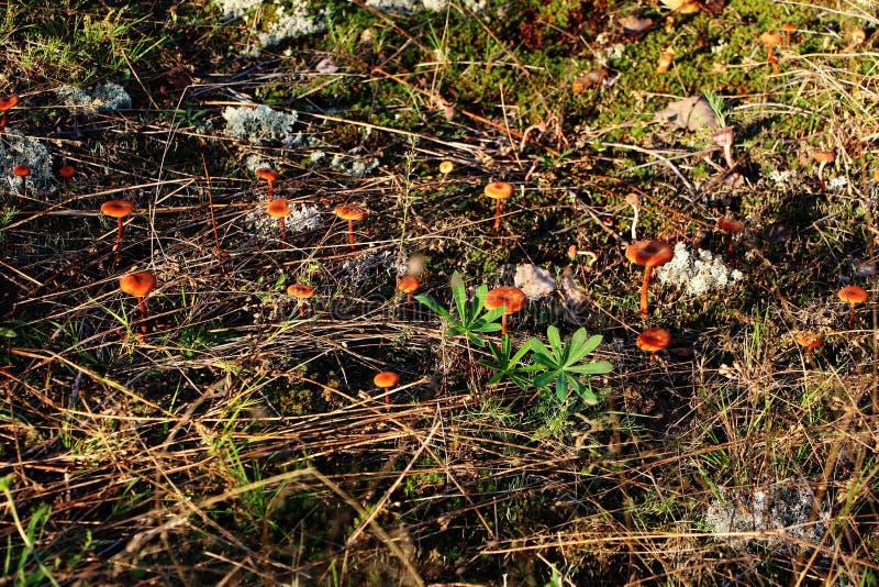 Giftige oneetbare paddestoelenpaddestoel stock afbeeldingen