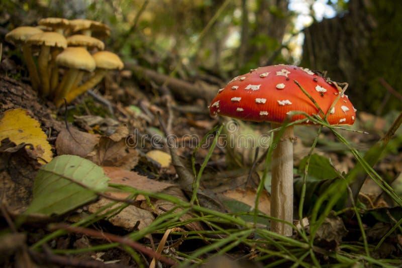 Giftige paddestoel in het bos stock foto's