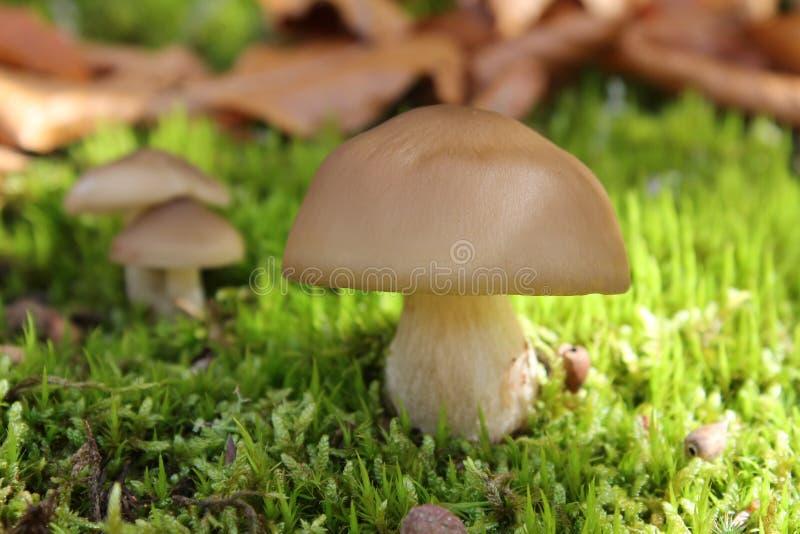 Giftige paddestoel in het bos stock afbeeldingen