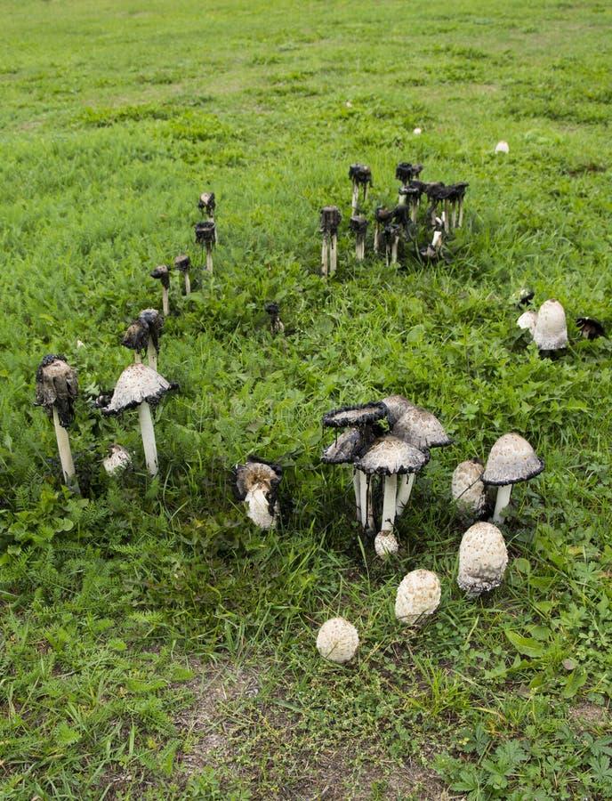 Giftige paddestoelen, coprinusatramentarius royalty-vrije stock afbeeldingen