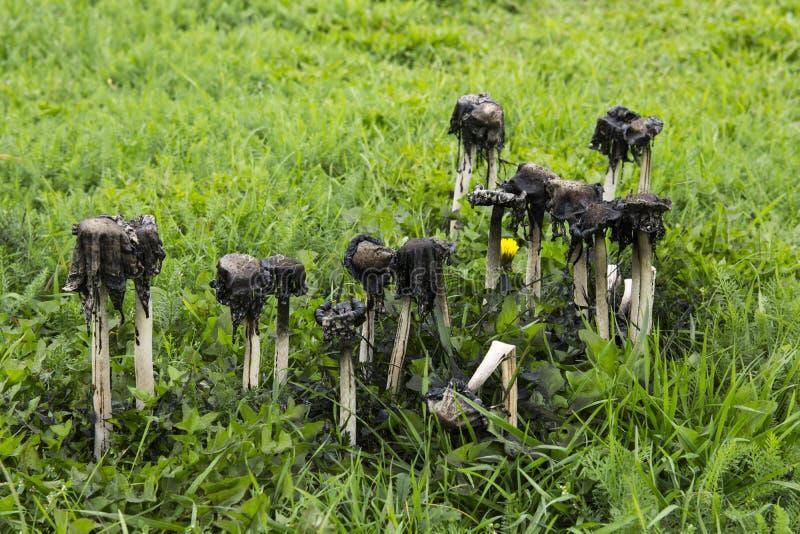 Giftige paddestoelen, coprinusatramentarius stock afbeelding