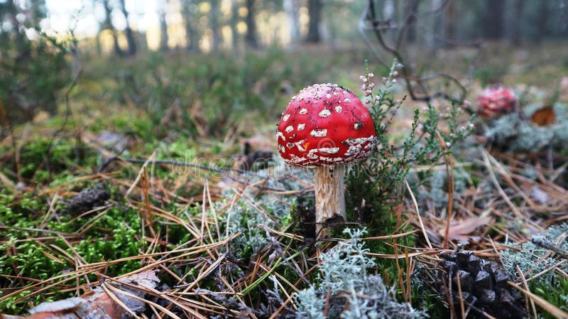 giftiger Pilzfliegenpilz oder Wulstling muscaria im Herbstwald lizenzfreie stockfotos