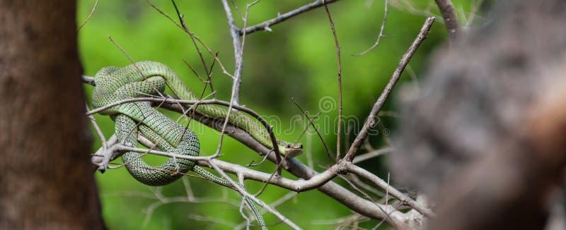 Giftigt sammanträde för grön orm på en filial royaltyfri bild
