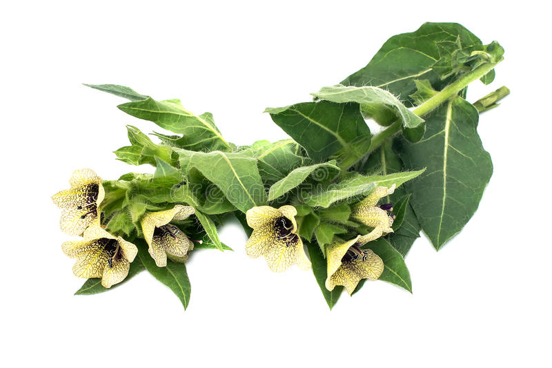 Giftpflanzebilsenkrautschwarzes (Hyoscyamus Niger) lizenzfreie stockfotografie