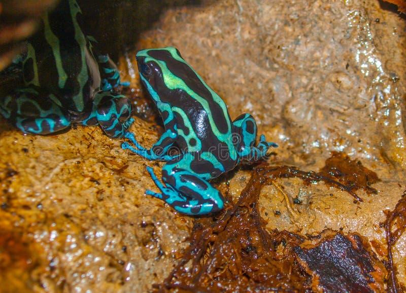 Giftpilgroda Dendrobatidae royaltyfri foto