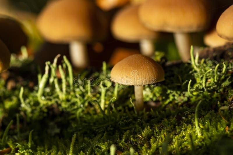 Giftpilz mycena Pilze auf einem Holz in einem grünen Gras Weichzeichnung, bokeh Autum, Sonnenlicht stockbild