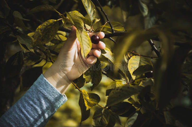 Gifts of Nature (cherry) royalty free stock photography