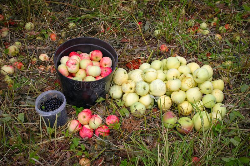 Gifts of summer - apples and black currants. Ripe apples fall from the trees. The collected black currants and apples lie in bucke stock photography