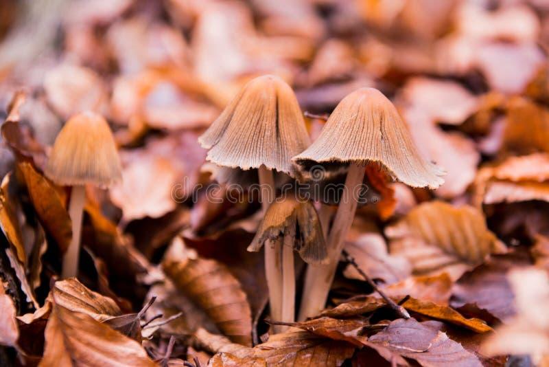Giftsvampar i hösten royaltyfria bilder