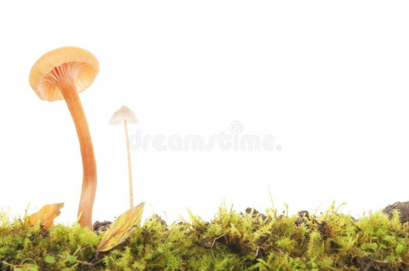 giftsvampar två arkivbilder
