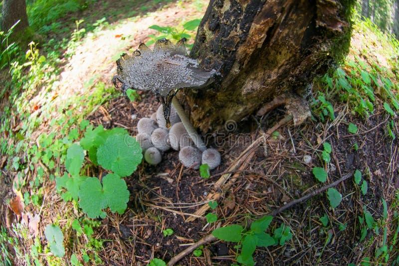 Giftsvampchampinjoner under ett träd i skogen royaltyfria bilder