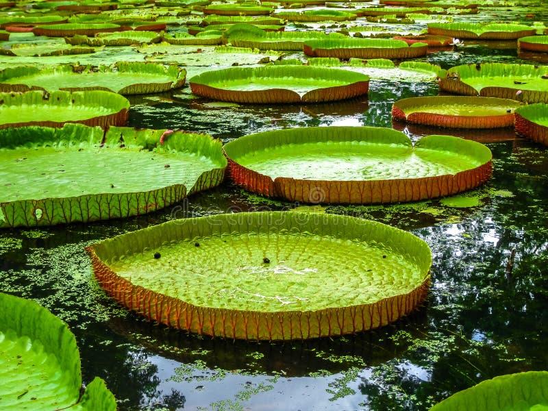 Gigantów wodni lillies Mauritius zdjęcie stock