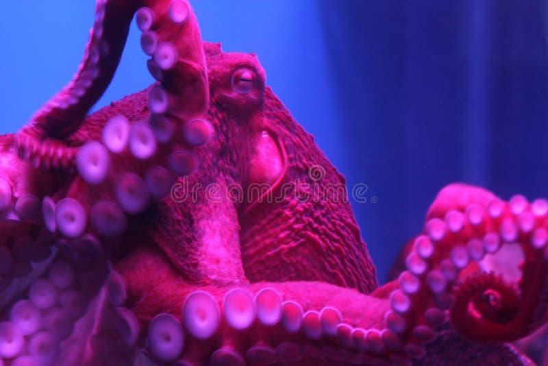 Gigant żywa ośmiornica w neonowym świetle w akwarium zdjęcie stock