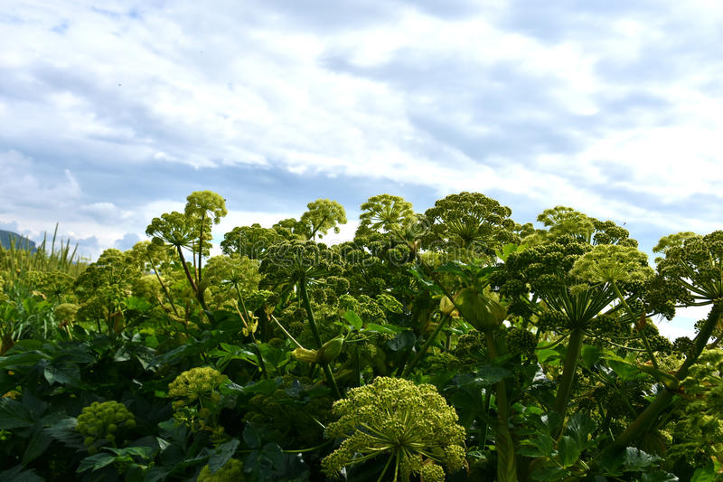 Gigant Hogweed. Giant hogweed a toxic plant originally native to Caucasus. Now it is a common weed in whole europe royalty free stock images