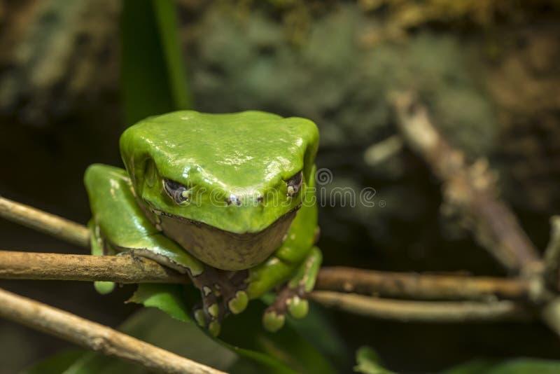 Gigant małpia żaba zdjęcie royalty free