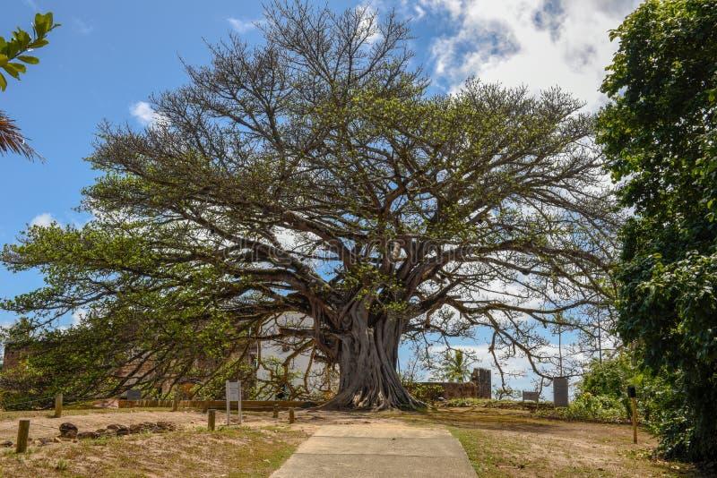 Gigant tree of castle Garcia D`Avila near Praia do Forte, Brazil. Gigant tree of castle Garcia D`Avila near Praia do Forte on Brazil royalty free stock images