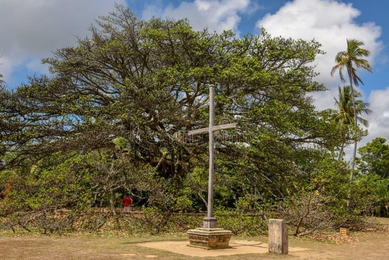 Gigant tree of castle Garcia D`Avila near Praia do Forte, Brazil. Gigant tree of castle Garcia D`Avila near Praia do Forte on Brazil stock photos