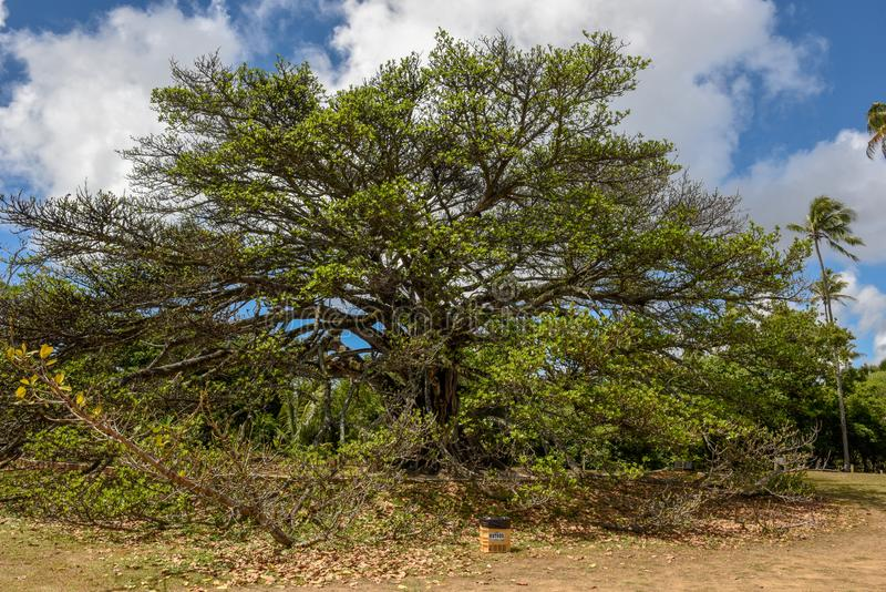 Gigant tree of castle Garcia D`Avila near Praia do Forte, Brazil. Gigant tree of castle Garcia D`Avila near Praia do Forte on Brazil stock images