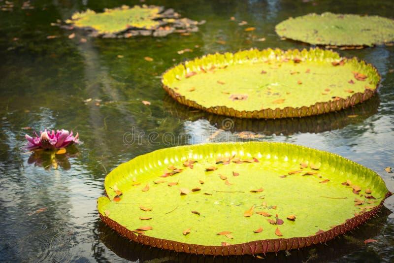 Gigant Waterlilies obraz stock