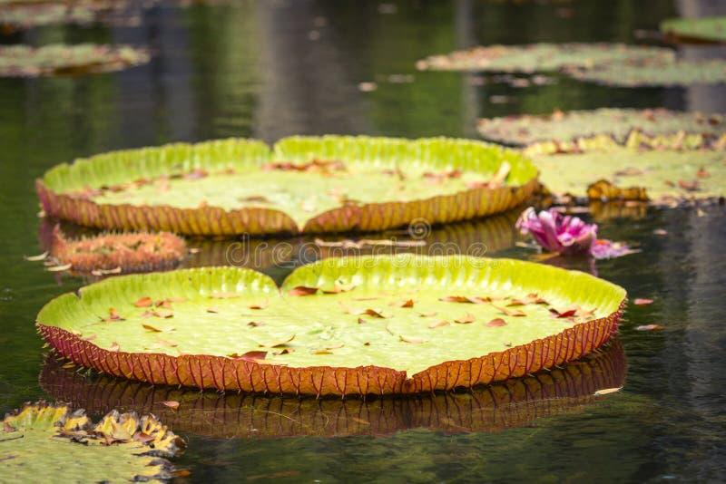 Gigant Waterlilies zdjęcia stock