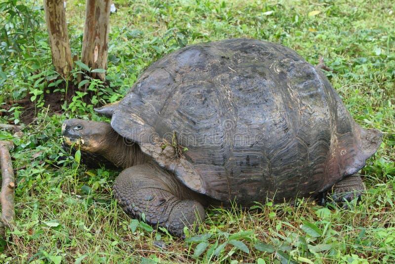 Giganta Galapagos tortoise w Santa Cruz wyspie zdjęcia stock