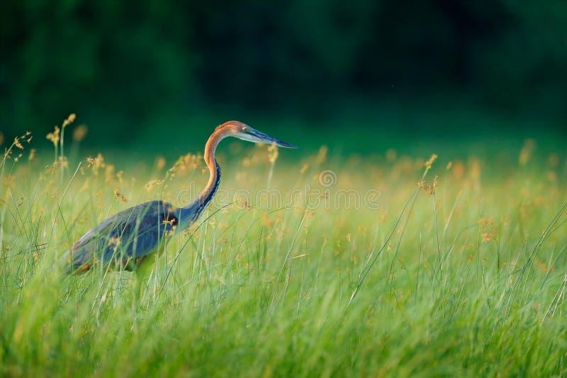Giganta Goliath eron, Ardea Goliath duży czapli odprowadzenie w ranek trawie wzdłuż banka Okavango rzeka przeciw zamazanemu obraz royalty free