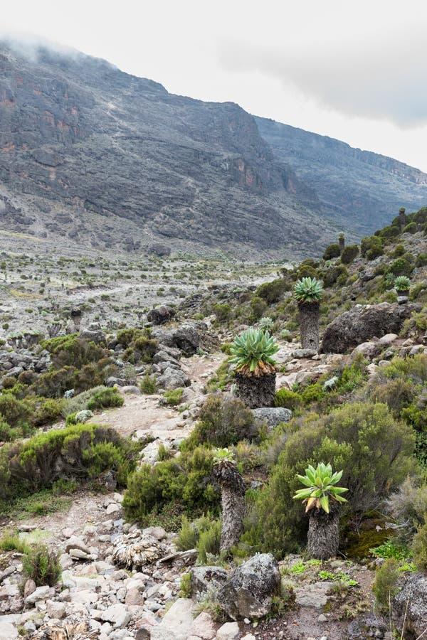 Giganta Groundsel Dendrosenecio kilimanjari drzewa wykładają footpath na górze Kilimanjaro obraz stock