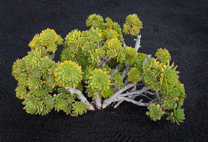 Giganta Houseleek Aeonium lancerottense Lanzarote obraz stock
