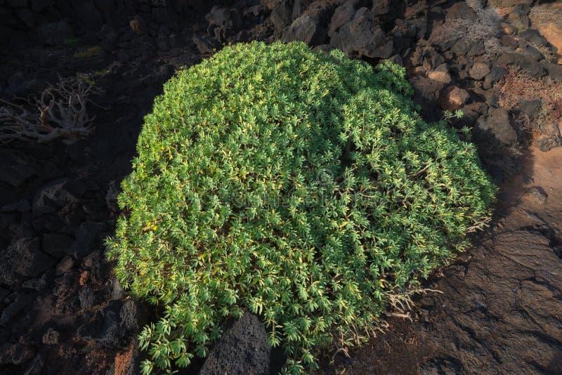 Giganta Houseleek sukulent w powulkanicznej ziemi obraz stock