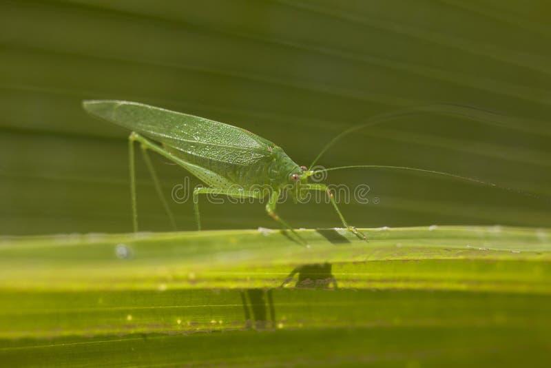 Giganta Katydid liścia trawy Długi Iść na piechotę Zielony skakacz zdjęcie royalty free
