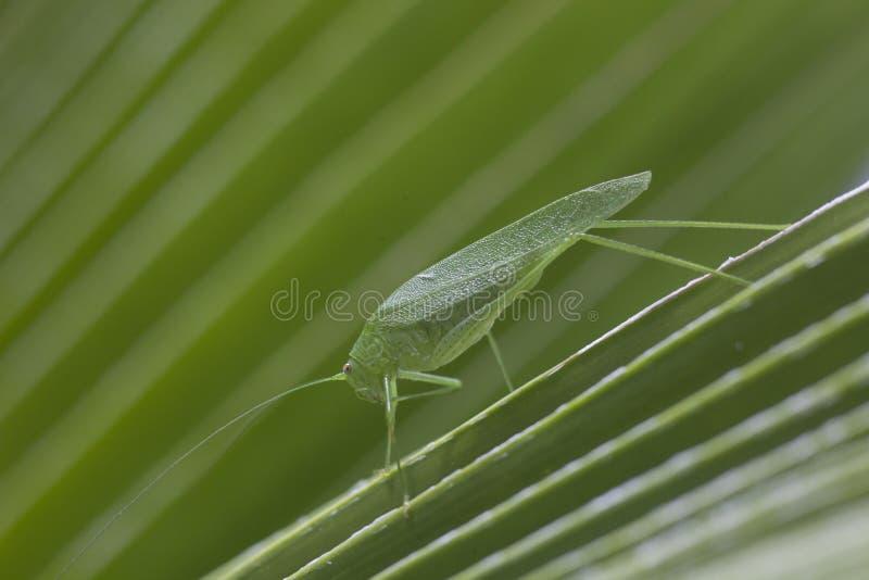 Giganta Katydid liścia trawy Długi Iść na piechotę Zielony skakacz zdjęcie stock