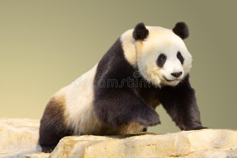 giganta odosobniony pandy odprowadzenie obraz stock