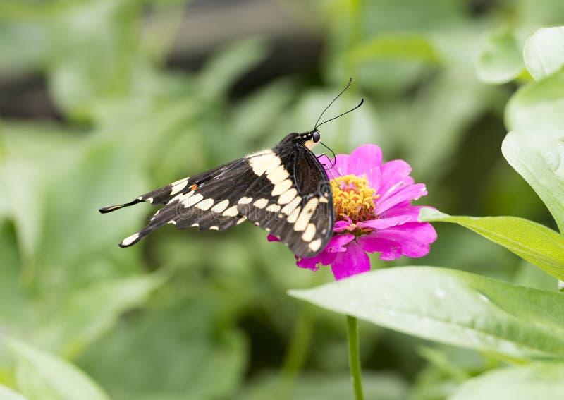 Giganta Swallowtail zgromadzenia nektar na purpurowe cynie kwitnie fotografia royalty free