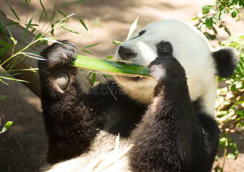 Gigante animal en peligro Panda Eating Bamboo Stalk de la fauna foto de archivo libre de regalías