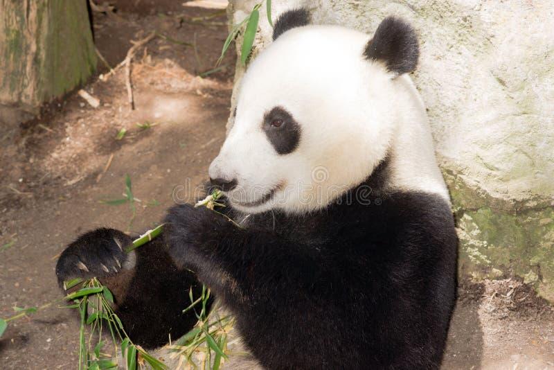 Gigante animal en peligro Panda Eating Bamboo Stalk de la fauna foto de archivo