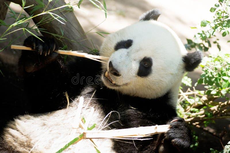 Gigante animal en peligro Panda Eating Bamboo Stalk de la fauna imágenes de archivo libres de regalías