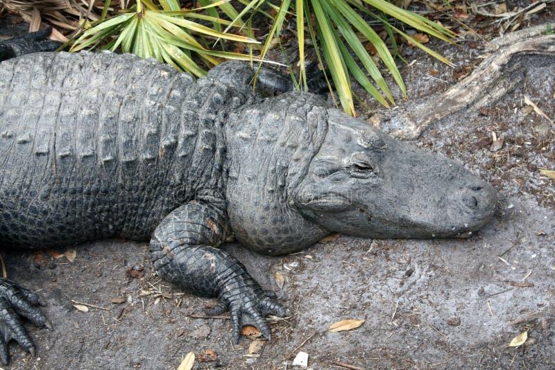 Gigante del coccodrillo fotografie stock libere da diritti