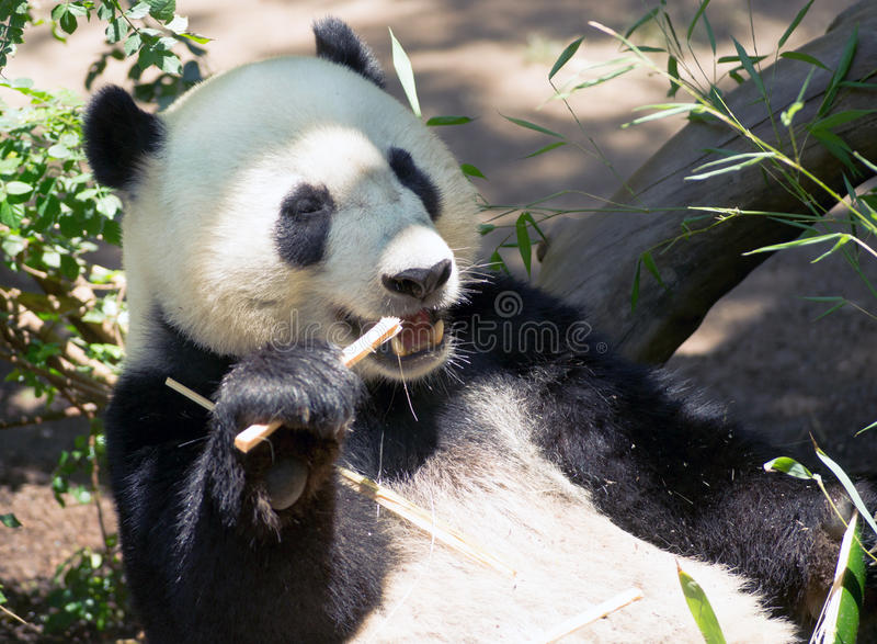 Gigante en peligro Panda Eating Bamboo Stalk foto de archivo