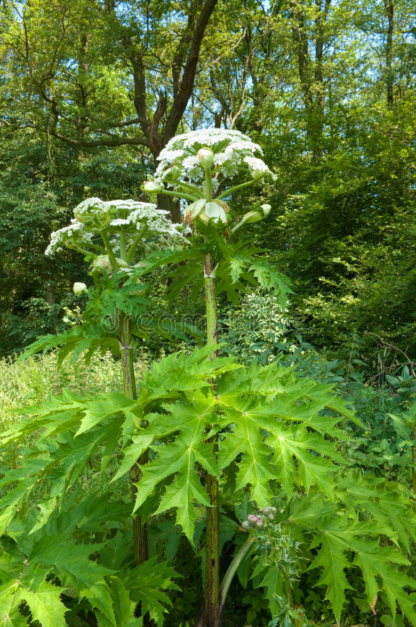 Gigante hogweed immagine stock