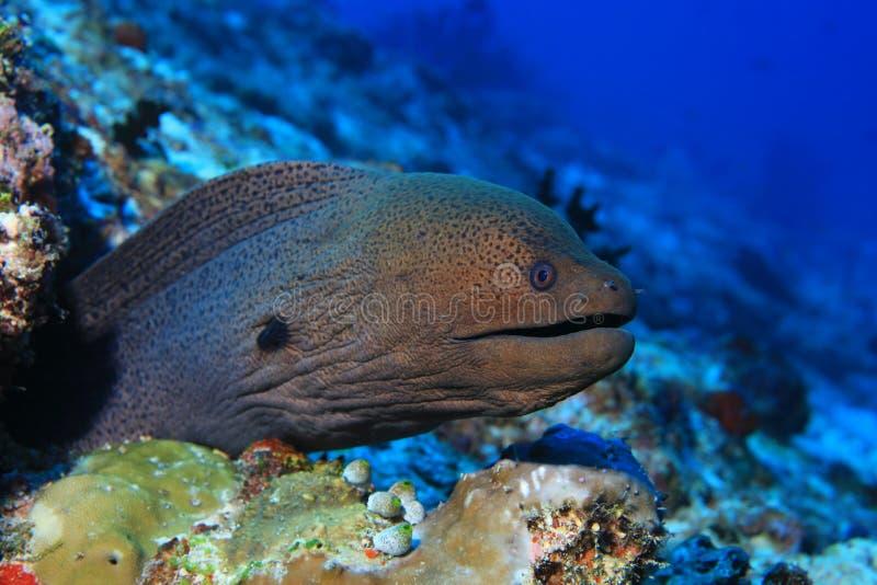 Gigante Moray Eel foto de stock