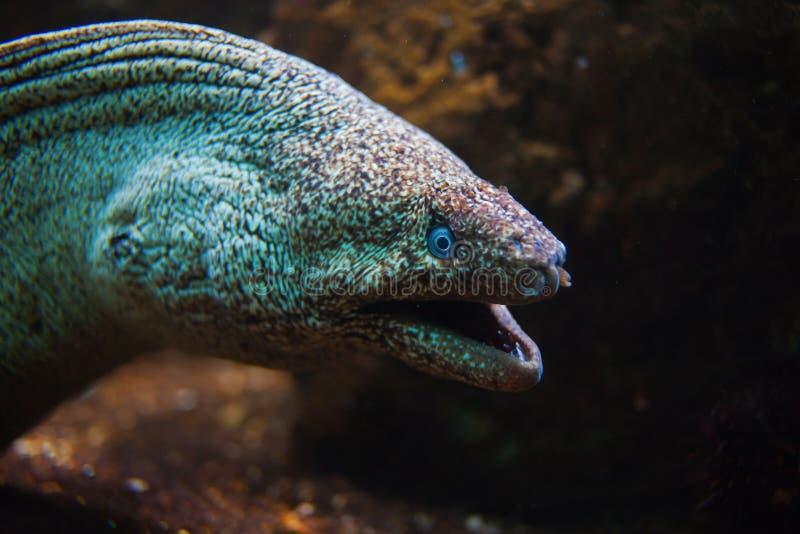 Gigante Moray Eel com boca aberta imagem de stock royalty free