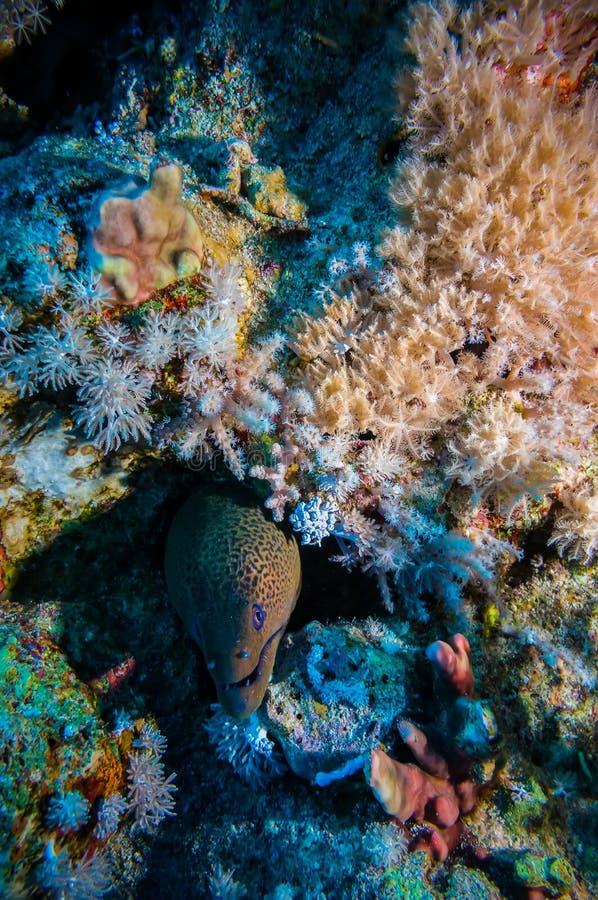Gigante Morey Eel no Mar Vermelho imagens de stock royalty free