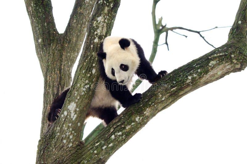 Gigante Panda Climbing un árbol, Szechuan, China fotografía de archivo